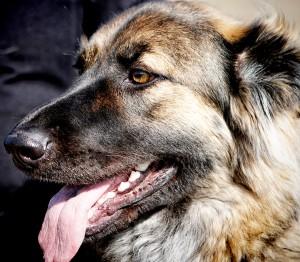 Maddie-a-German-Shepherd