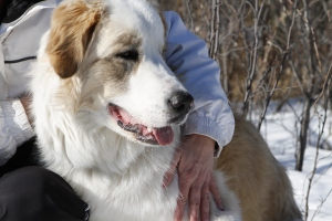 Sakara-the-Great-Pyrenees-Border-Collie-cross-in-close-for-a-snuggle