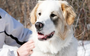 Sakara-the-great-pyrenees-border-collie-cross