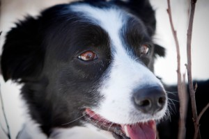 Mandy-the-Border-Collie-always-smiling