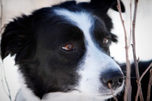 Mandy-the-border-collie