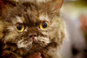 Hannah-Montana-a-Selkirk-Rex-Cat
