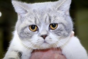 The-adorable-British-Shorthair-Blue-Star