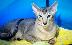 Linda-a-brown-ticked-tabby-oriental-shorthair-cat