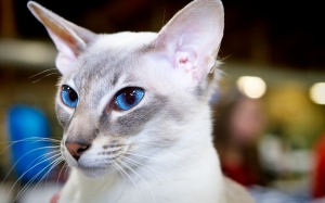 Jack-a-9-month-old-blue-lynx-point-oriental-shorthair-cat