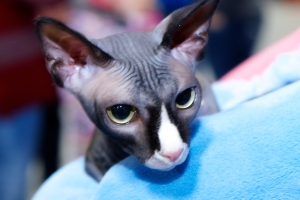Jaxx-a-Sphynx-cat-wrapped-in-his-blue-blanket
