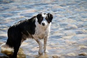 Rocky-a-mixed-breed-dog-standing-in-the-Bow-River-at-the-ready