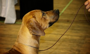 Rhodesian Ridgeback in focus on his mom