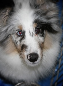 Gorgeous Aussie pup