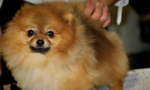Pretty Pomeranian