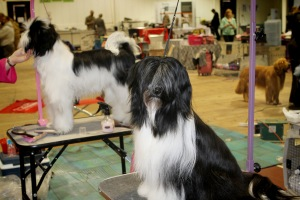Tibetan Terriers (Adult and Pup). These are what my dogs would look like if they weren't wild wood running dogs :)