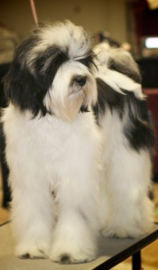 8 month old Tibetan Terrier beauty