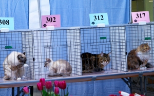 Male-and-Female-Cats-Waiting-Their-Turn-To-Be-Judged