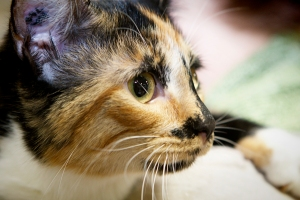 Tris-a-female-tortoiseshell-short-haired-kitten-up-for-adoption