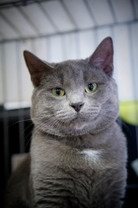 Blue-is-a-beautiful-grey-male-cat-up-for-adoption-with-his-brother