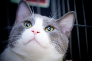 Misty-a-beautiful-grey-and-white-male-cat-up-for-adoption