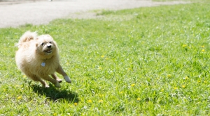 Baffin-the-dog-zooming-around-the-park